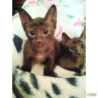Ориентальные котята гавана эбони голубой