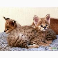 Сервал. Котята Сервала. Купить котёнка Сервала