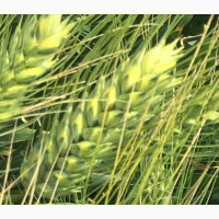 Семена озимой пшеницы Танаис, Лилит, Донская Юбилейная, Ермак, Лидия, Танаис, Одари