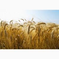 Семена озимого ячменя Виват, Тимофей, Добрыня, Ерема, Луран, Иосиф, Каррера