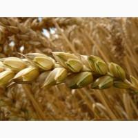 Семена твердой пшеницы, Трансгенный сорт Двуручки AMADEO