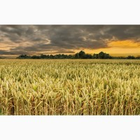 Семена озимой пшеницы Краса Дона, Станичная, Лидия, Аскет, Танаис, Ермак, Лилит