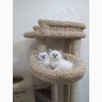 Котята Священнная бирма/ бирманская кошка