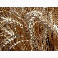 Семена озимой пшеницы сорта Гомер, Граф
