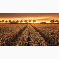 Семена озимой пшеницы Капризуля, Изюминка, Княгиня Ольга, Зустрич, Губернатор Дона