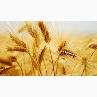 Семена озимой пшеницы сорт Безостая-100