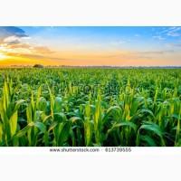 Семена кукурузы F-1