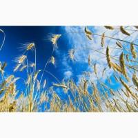 Семена озимой пшеницы Гром, Граф