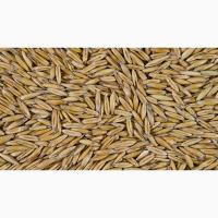 Семена овса ярового