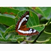 Восхитительные Живые Бабочки изЧили