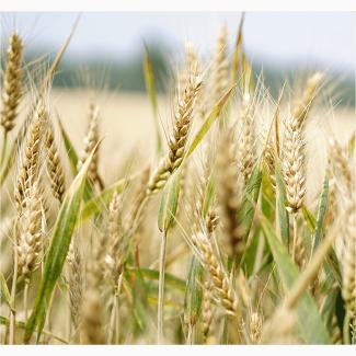Семена озимой пшеницы на с/х сезон 2021