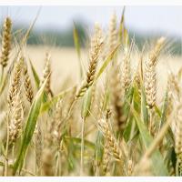 Семена озимой пшеницы Дуплет, Жива
