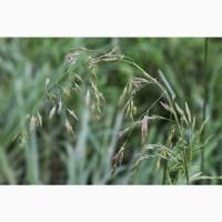 ООО «Атлантис» продает семена овсяницы тростниковидной