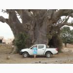 Баобаб. Порошок мякоти плодов. Оздоровительная продукция из Западной Африки