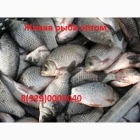 Живая рыба. Куплю оптом живую рыбу