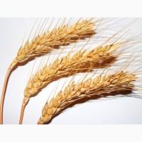 Семена озимой пшеницы сорт Тимирязевка-150