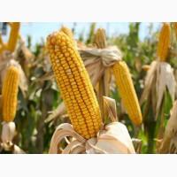 Семена кукурузы, канадский трансгенный гибрид кукурузы sedona bt 166 фао 180