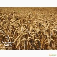 Пшеница яровая сорт «Омская 36»