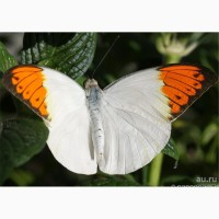 Тропические Живые Бабочки изЮАР