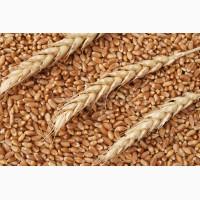 Продам пшеницу продовольственную 3, 4 класса