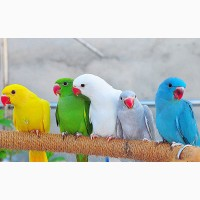 Ожереловые попугаи - крамера