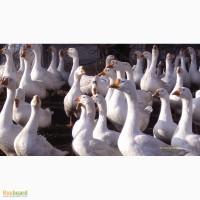 Деревенские гуси
