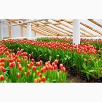 Цветовод в тепличный комплекс с тюльпанами