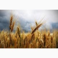 Семена озимой пшеницы скороспелый сорт Еланчик