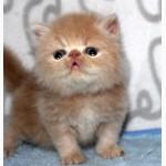 Чистокровные персидские котята