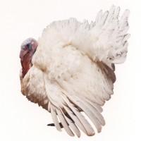 Инкубационные яйца индейки тяжелого кросса Хайбрид Конвертер / Hybrid Converter