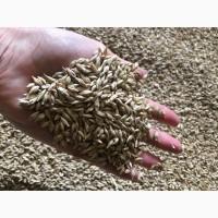 Семена озимой пшеницы Капитан ЭС