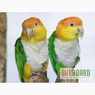 Черношапочтный каик или Белобрюхий черношапочный попугай, или каик