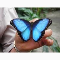 Тропические Живые Бабочки изЧили