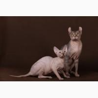 Самая удивительная кошка - Эльф, бамбино, сфинкс