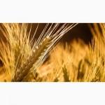 Предлагаем пшеницу 3 класса