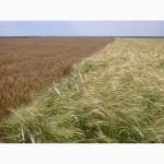 Предлагаем пшеницу 4 класса