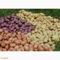 Семенной картофель разных сортов