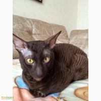 Котик корниш - рекс для вязки