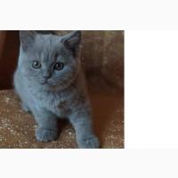Британские котята питомника Mendeleev