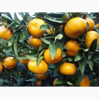 Продам мандарины оптом сорта Уншиу из Грузии