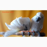 Какаду белохохлый - ручные птенцы из питомника