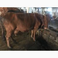 Продажа Коров и Быков