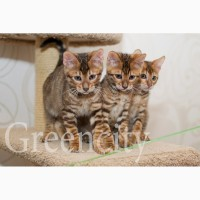 Бенгальские котята и котята породы тойгер