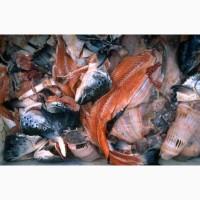 Покупаем рыбные отходы 40 тонн в сутки