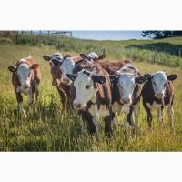 Продаю бычков Симментальской породы на доращивание. 170 руб/кг