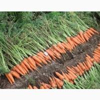 Закупаем Морковь на постоянной основе
