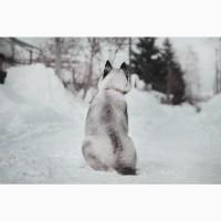 Превосходные щенки Сибирской Хаски (питомник)