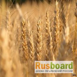 Пшеница 3 класса продаем