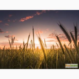 Поставляем пшеницу 5 класса