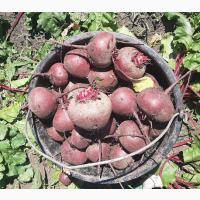 Свекла столовая нового урожая Краснодар